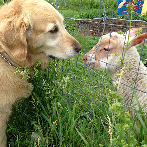 Dog with goat